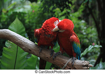 Parrot (Ara macao) - Scarlet Macaws; phorographed in the ...