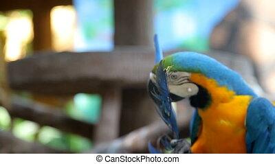 parrot Ara on tree - parrot Ara brushing beak tail sitting...