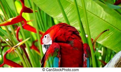 Parrot Ara.