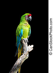 Parrot bird (Severe Macaw) sitting on the branch