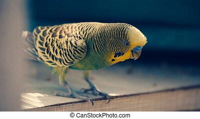 parrot budgerigar closeup