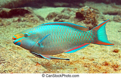 Parrot fish and Hitch hiker - A beautiful parrotfish swims...