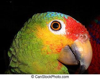 parrot head - close up of parrot