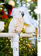 parrot, Key West, Florida Keys, Florida, USA