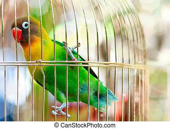 Parrot Lilian's Lovebird