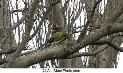 Parrot - Parakeet on a tree branch. - London. England....