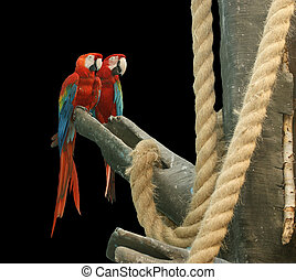 Parrot - red blue macaw. isolated on a black background