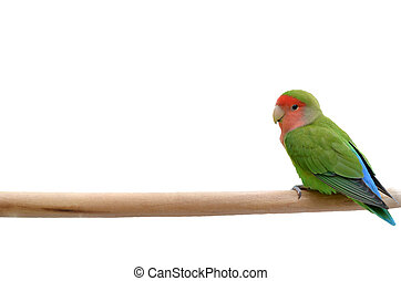 Parrot sitting on a stick, isolated on white background.