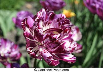 Parrot tulip #2