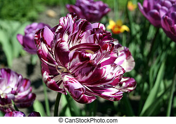 Parrot tulip - Purple parrot tulip close up