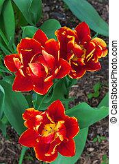Parrot tulips in a garden