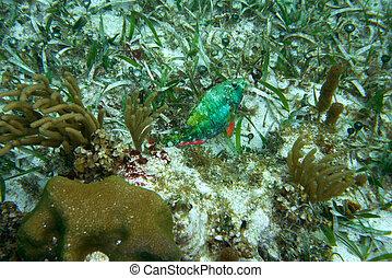parrotfish, fish, 在, 偉大, mayan, 礁石
