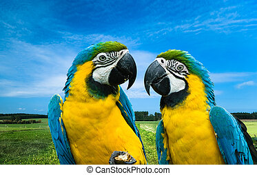 parrots in love - close-up of a beautiful blue-and-yellow...