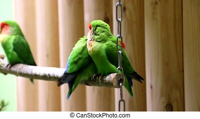 Parrots in the zoo. Green little parrots on a branch in a zoo. Birds in captivity. Behavior of birds in a zoo.