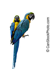 Parrots macaw - Parrots isolated on white background