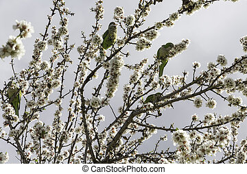 Parrots on almond tree