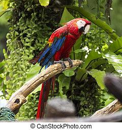 parrots:, scharlaken macaw