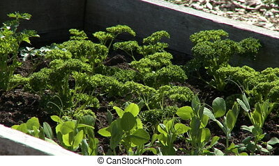 Parsley And Basil In Garden - Steady, medium wide shot of...