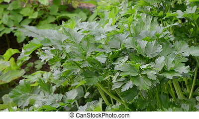 parsley garden closeup - parsley natural ecological spice...