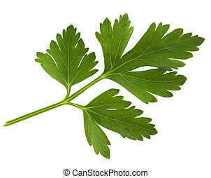 green leaf of parsley isolated on white
