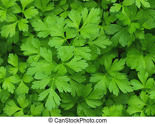 Growing fresh green parsley