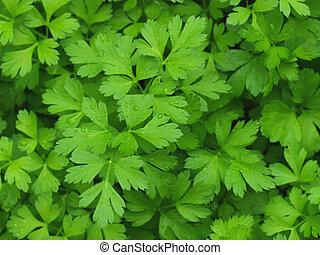 Parsley - Growing fresh green parsley