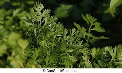Parsley growing in the garden. Ontario, Canada.