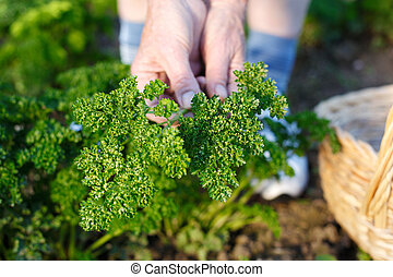 Parsley - Human hands harvesting fresh parsley in the garden