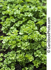 Parsley in a home garden