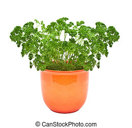Parsley in a pot isolated on a white background.