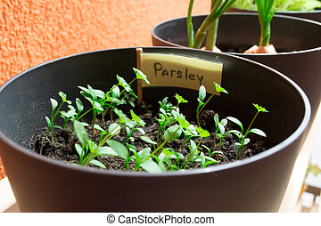 Parsley in a pot.