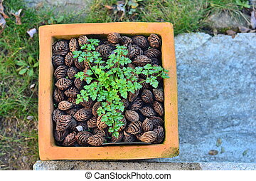 Parsley in a pot with peach pits