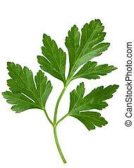 Parsley leaf - Parsley green leaf closeup on white ...