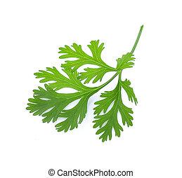 parsley on white background.