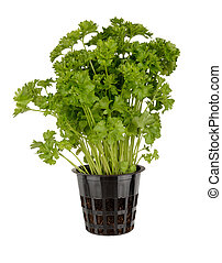 Parsley - Potted parsley isolated on white background