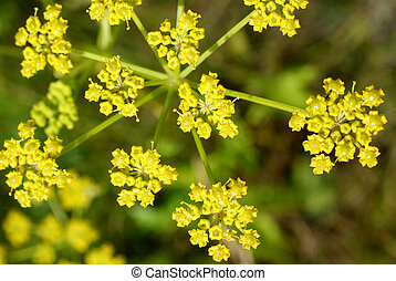 The flower of wild Parsnip (Pastinaca sativa) close up. Photographed in Tuohittu, Finland in July 2010.