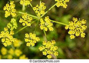 parsnip, (pastinaca, flor, sativa)