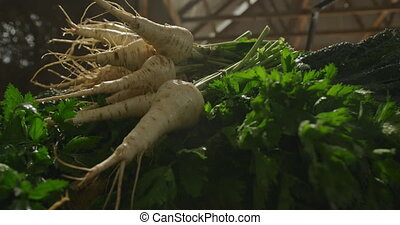 Parsnips on organic farm - Close up of parsnips freshly ...