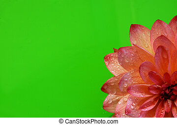 Part of a beautiful red-pink dahlia flower on the right below from a bright green background.
