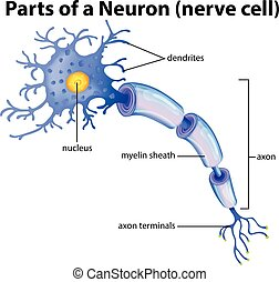 Part of a Neuron Diagram illustration