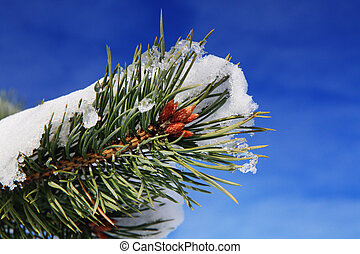 part of fir tree in winter - branches of fir tree strewn...