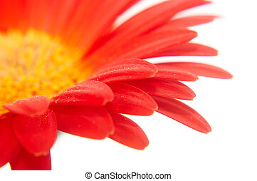Part of gerbera flower on white background