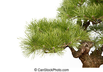 Part of Pine bonsai on white