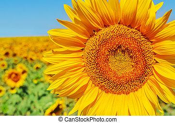 part of sunflower closeup in field