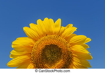 part of sunflower closeup on blue sky background