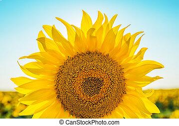 part of sunflower closeup on field