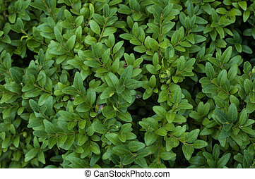 branches of green boxwood