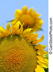 Part of the Sunflower