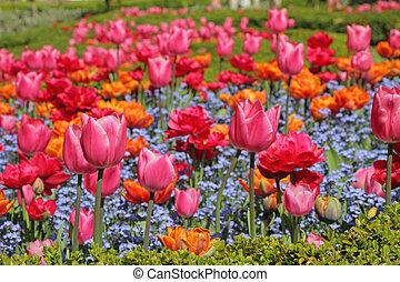 parterre fleurs, tulipes, fleurs, myosotis, coloré