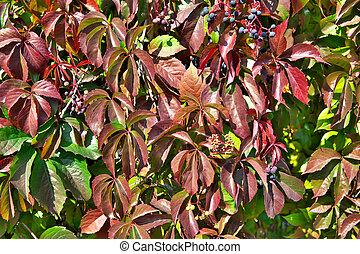Parthenocissus (Boston Ivy)